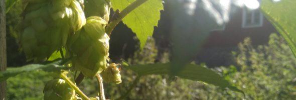 Time to harvest the pilsner-hop